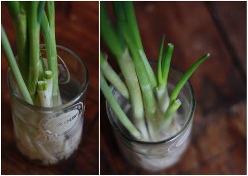 This is it guys — place a bunch of scallions with their roots in a glass full of water, then place in a sunny window. Cut off what you need to use in your cooking and the onions will literally regrow themselves almost overnight. No joke.