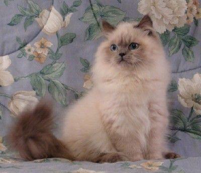 Doll Face Persian Kitten | Kittens | Persian kittens, Himalayan cat