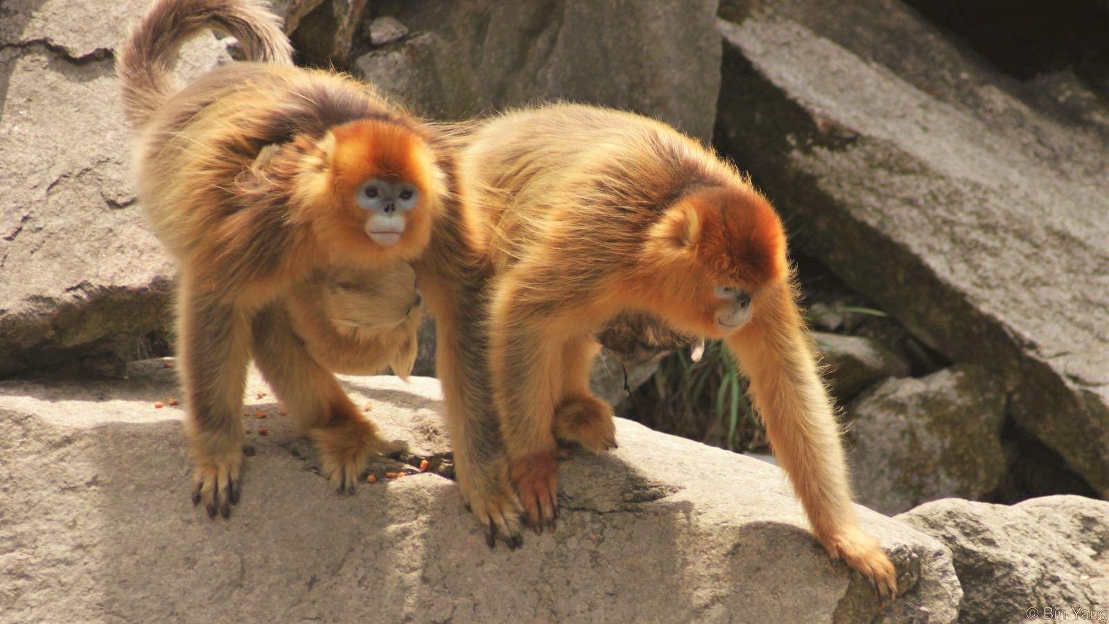 """Se ha observado asistencia en el parto en monos salvajes. Durante mucho tiempo se pensó que éste era un comportamiento exclusivo de los humanos, pero se ha encontrado un puñado de primates que tienen lo que se pueden denominar """"comadronas"""". ¿Por qué tan pocos primates lo hacemos? Esto podría ayudar a entender el origen de la asistencia al parto en la sociedad humana."""