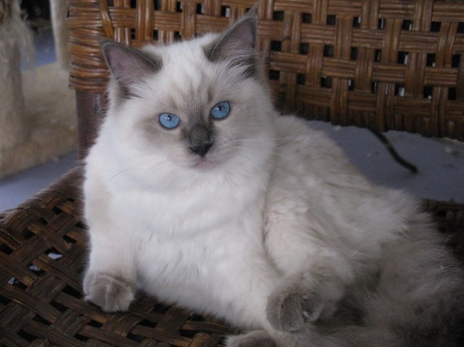 Ragdoll Cat Grey And White Pets Photos