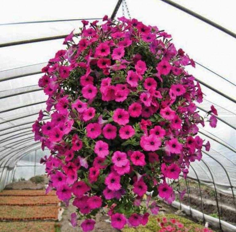 Tanaman Hias Gantung Berbunga Petunia Ungu Bunga Petunia Tanaman Kebun Bunga