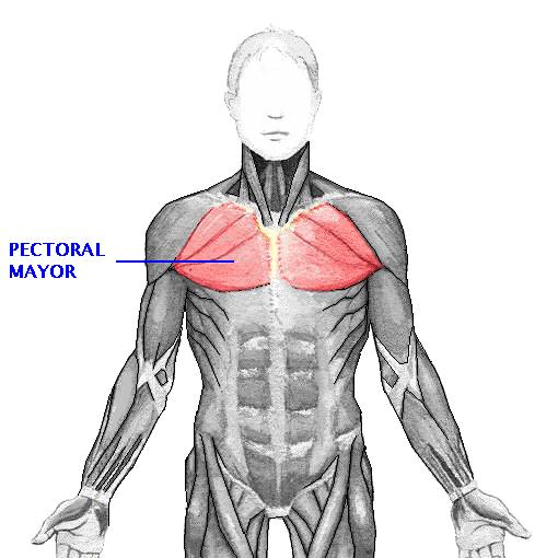 Los musculos del hombro son 9, y se dividen a su vez en 3 grupos ...