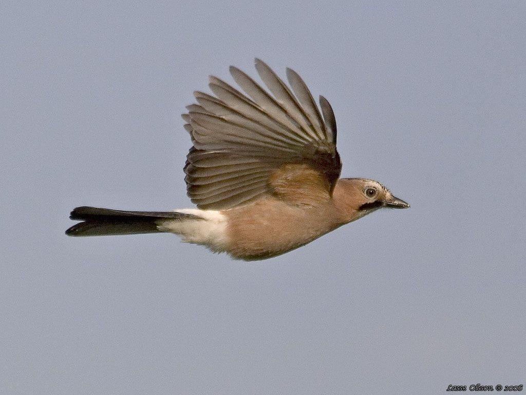 Google Image Result for http://www.birding.se/foto/notskrikalarge1.jpg