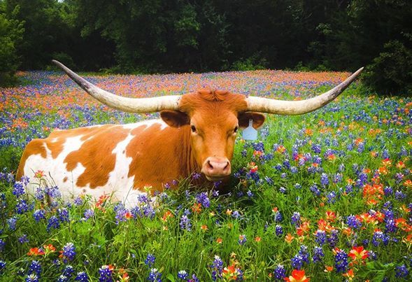 Our Beautiful Texas Wildflowers With The Longhorn Longhorn Cow Texas Animals Longhorn Cattle