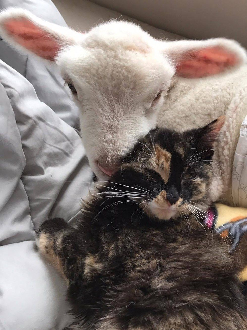 Image of: National Geographic Rescue Cat Helps Save Sick Little Lambs Life Goodreads Rescue Cat Helps Save Sick Little Lambs Life Animal Loveunlikely