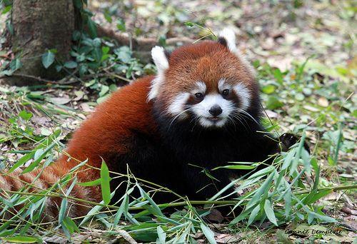 Cincinnati Zoo ... Bamboo is good for growing Red Pandas ... !