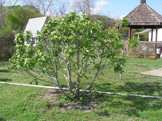 Plants List Fig Tree Plant Trees To Plant Plants