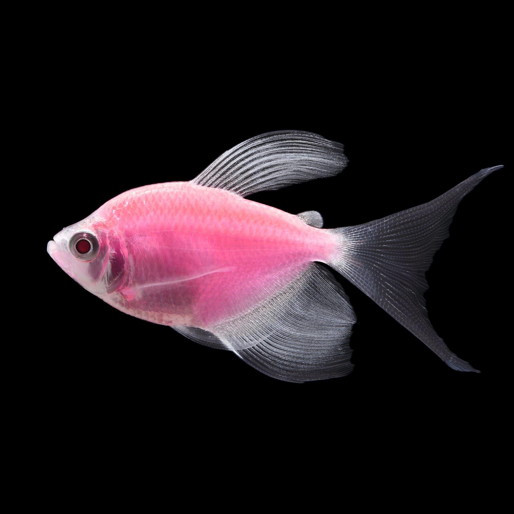 Glofish Moonrise Pink Longfin Tetras For Sale Petco In 2020 Glofish Live Freshwater Fish Freshwater Aquarium Fish