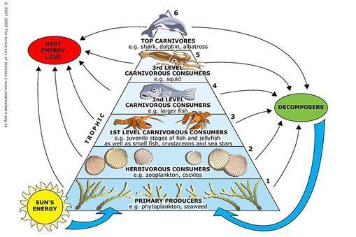 INFO SHEET Marine food webs ndash Food webs illustrate the