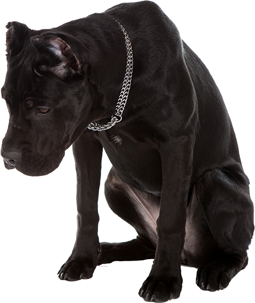 Best Dog Food For Cane Corso Ultimate Buyer S Guide For 2019 Cane Corso Best Dog Food Dogs