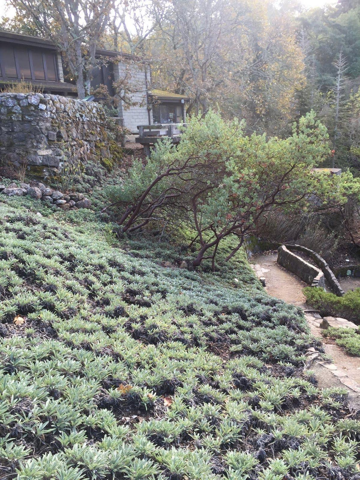 Creeping sage salvia sonomensis native to the california coast creeping sage salvia sonomensis native to the california coast range foothills and sierra nevada izmirmasajfo Images