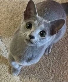Cute Gray Kitty Could I Have Some Of That Please With Images Russian Blue Cat Russian Blue Pretty Cats