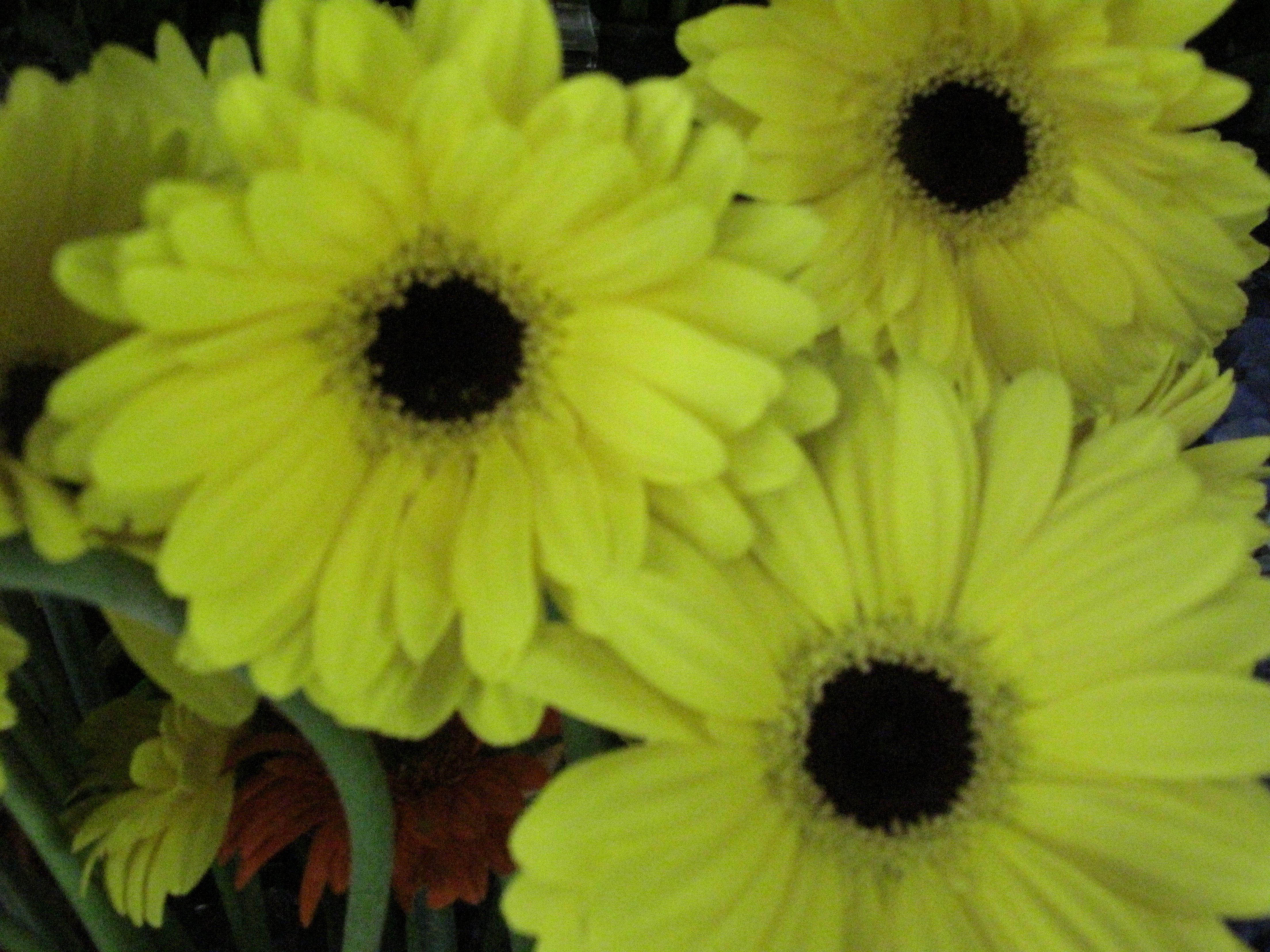 Gerbera Daisies Are Beautiful Indoor And Out Les Isle Rose