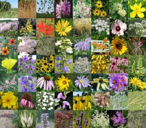 Aurora Of The Prairie Native Seed Mix Wildflower Seeds Spring Flowers Wild Flowers