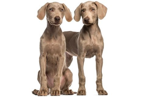 A diaphragmatic hernia is a defect in the diaphragm,  commonly caused by trauma, such as getting hit by a car (meowch!). But diaphragmatic hernias can also occur congenitally from birth. Two breeds that are at an increased risk? Weimaraners and Cocker Spaniels