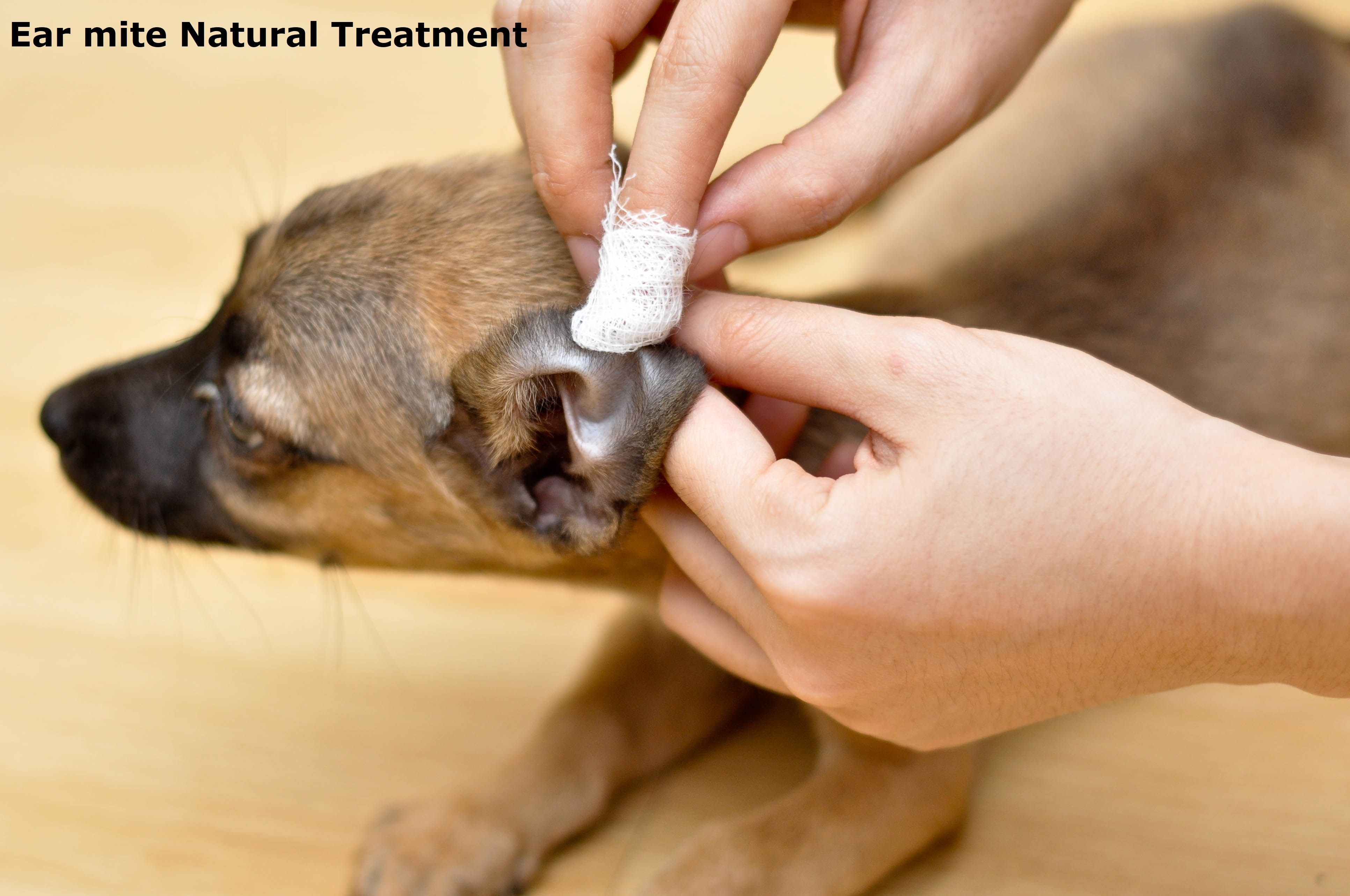 Home Natural Remedies For Health Problems Health Tips For Better Life Cleaning Dogs Ears Dog Ear Cleaner Homemade Dog Ear Cleaner