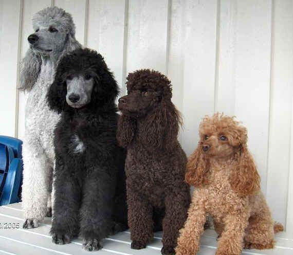 Silver White Parti Silver Chocolate Apricot Poodle Puppy