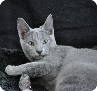 Kingwood, TX Russian Blue. Meet Lady Gray, a cat for