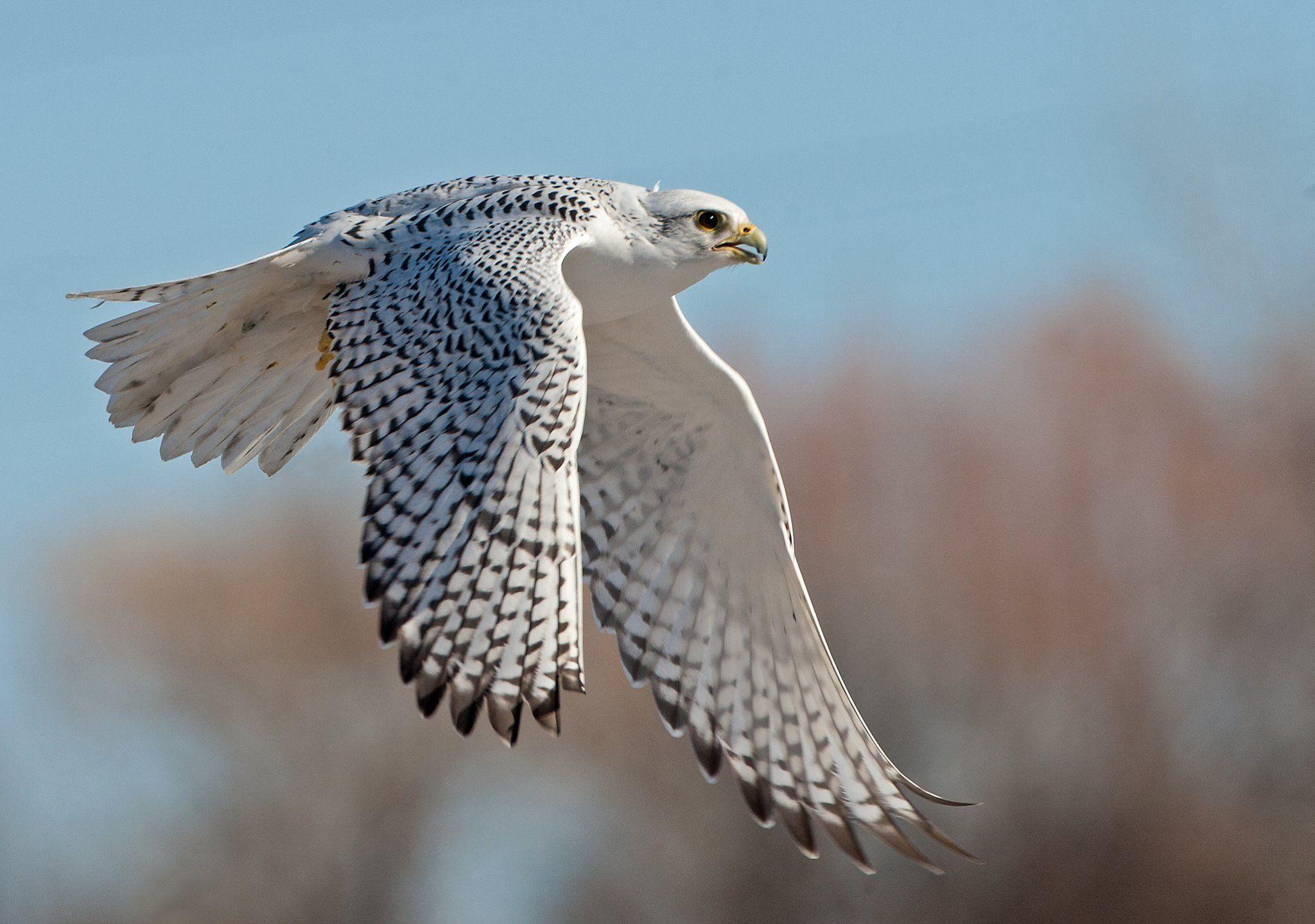 Adult White Gyrfalcon, a falconer's bird | Birds, Raptors ...