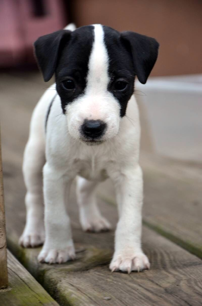 Fearless Jack Russell Terrier Puppies Jack Russell Dogs Cute Dogs