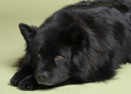 Labrador picture chowchow adult crossbreed