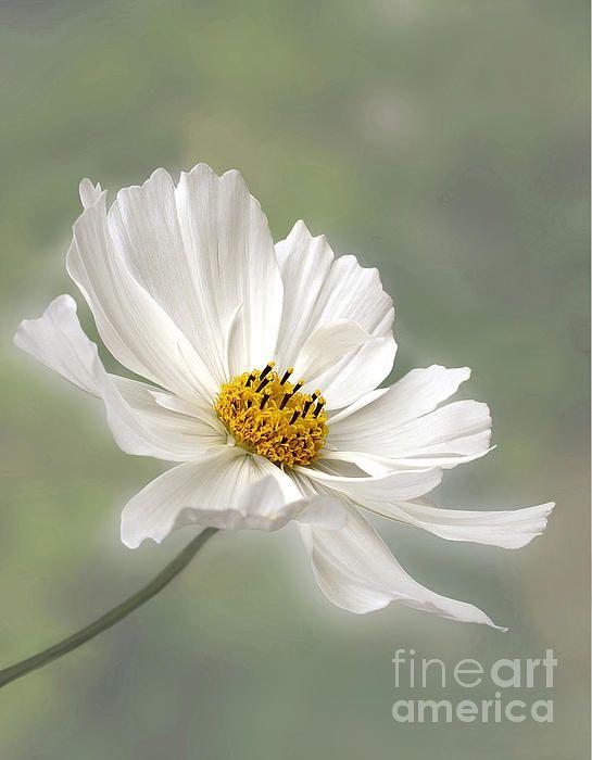 Cosmos Flower In White Art Watercolor Pinterest Flowers