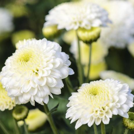 Fleur Blanche Liste Ooreka Flowers Flowers Planting Flowers