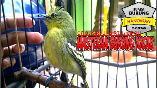 Suara Burung Cito Sirtu Sirpu Cipoh Gacor Cocock Untuk Pancingan Burung Suara Pancing