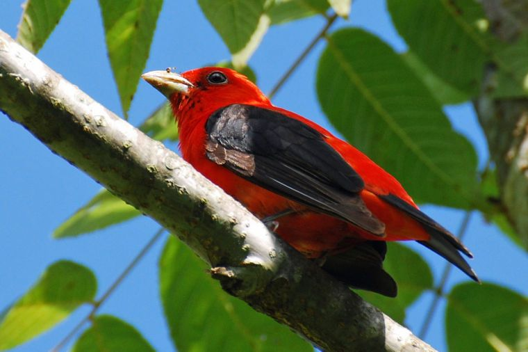 Scarlet tanagers bring splash of color to local woodlands