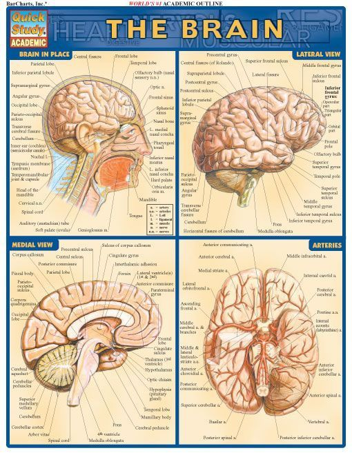 The Brain Review Guide Complete Labeled Illustrations Of The Parts
