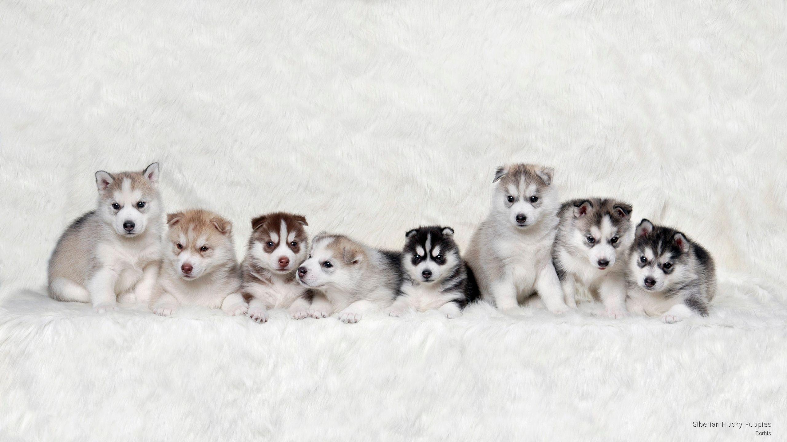 huskies Siberian husky puppies, Dog wallpaper, Husky puppy