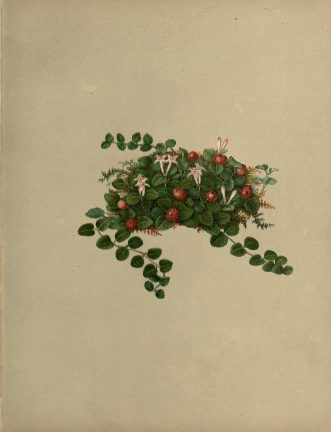Partridge berry botanical art pinterest partridge art floral