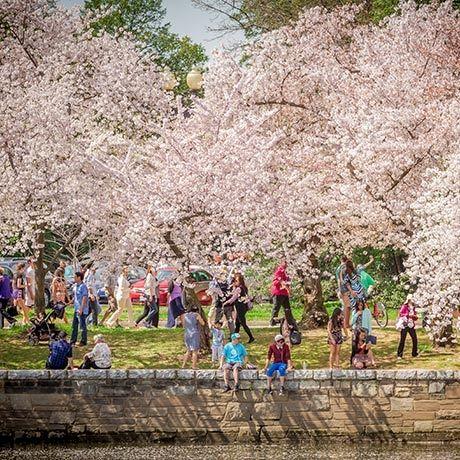 Guide to Cherry Blossom season in Washington, DC