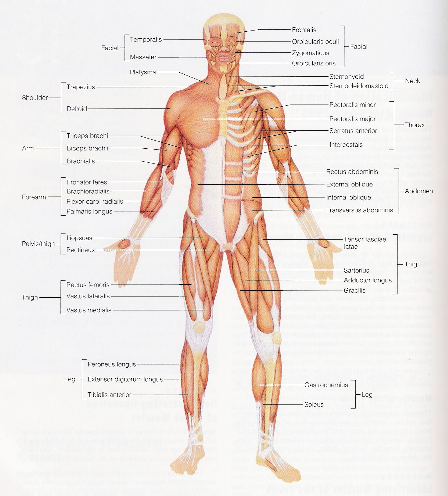 Skeletal Muscle Structure Unlabeled Diagram Of The Muscle System Hd