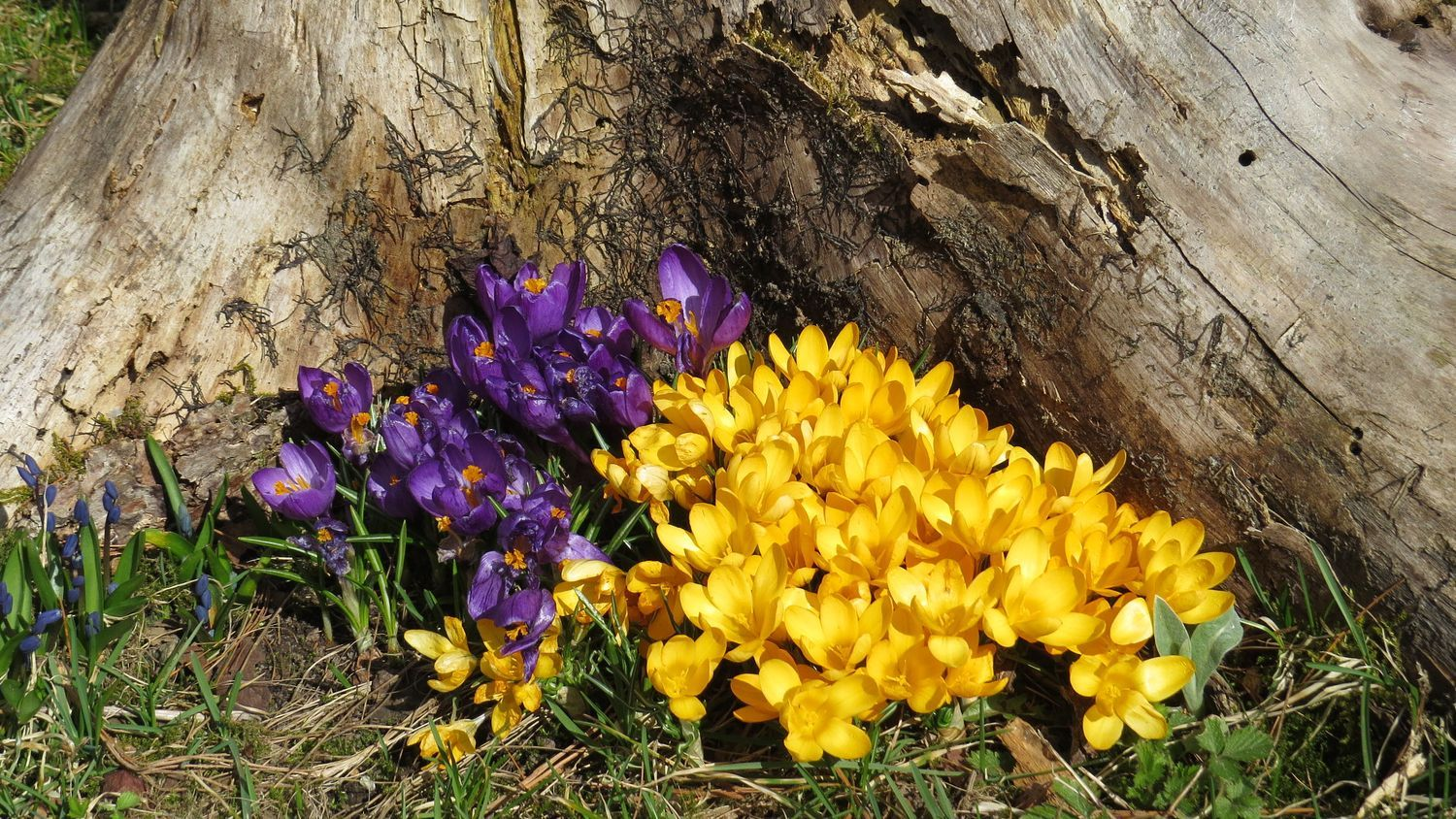 Beautiful group of crocuses, Finland