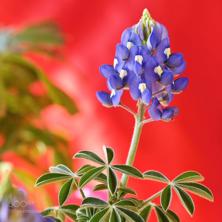 Lupinus Blue Bonnet By Sekinetoshikazu Go4fotos Etli Yaprakli