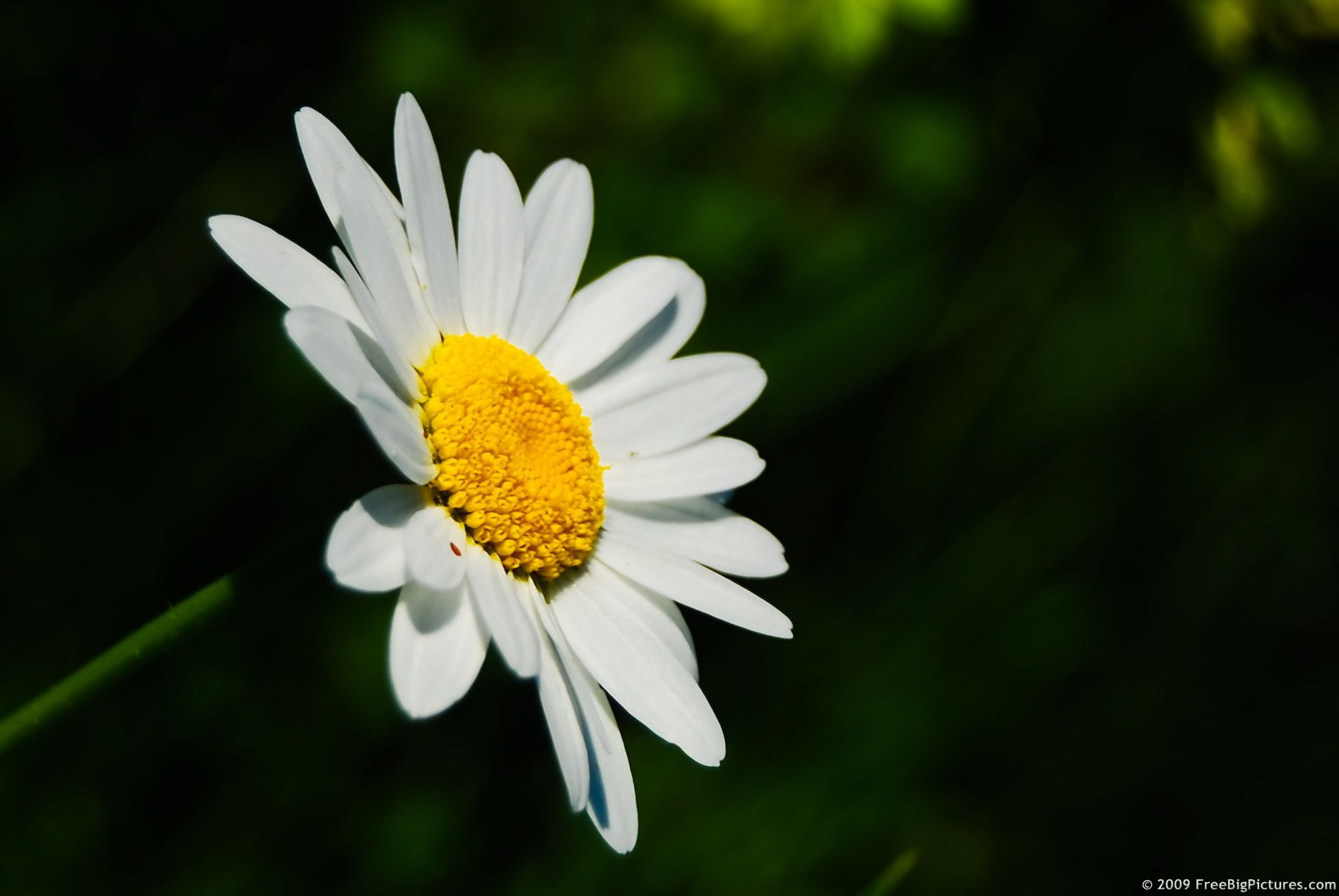 If you want to help each plant to have an even more beautiful daisy if you want to help each plant to have an even more beautiful daisy flower izmirmasajfo