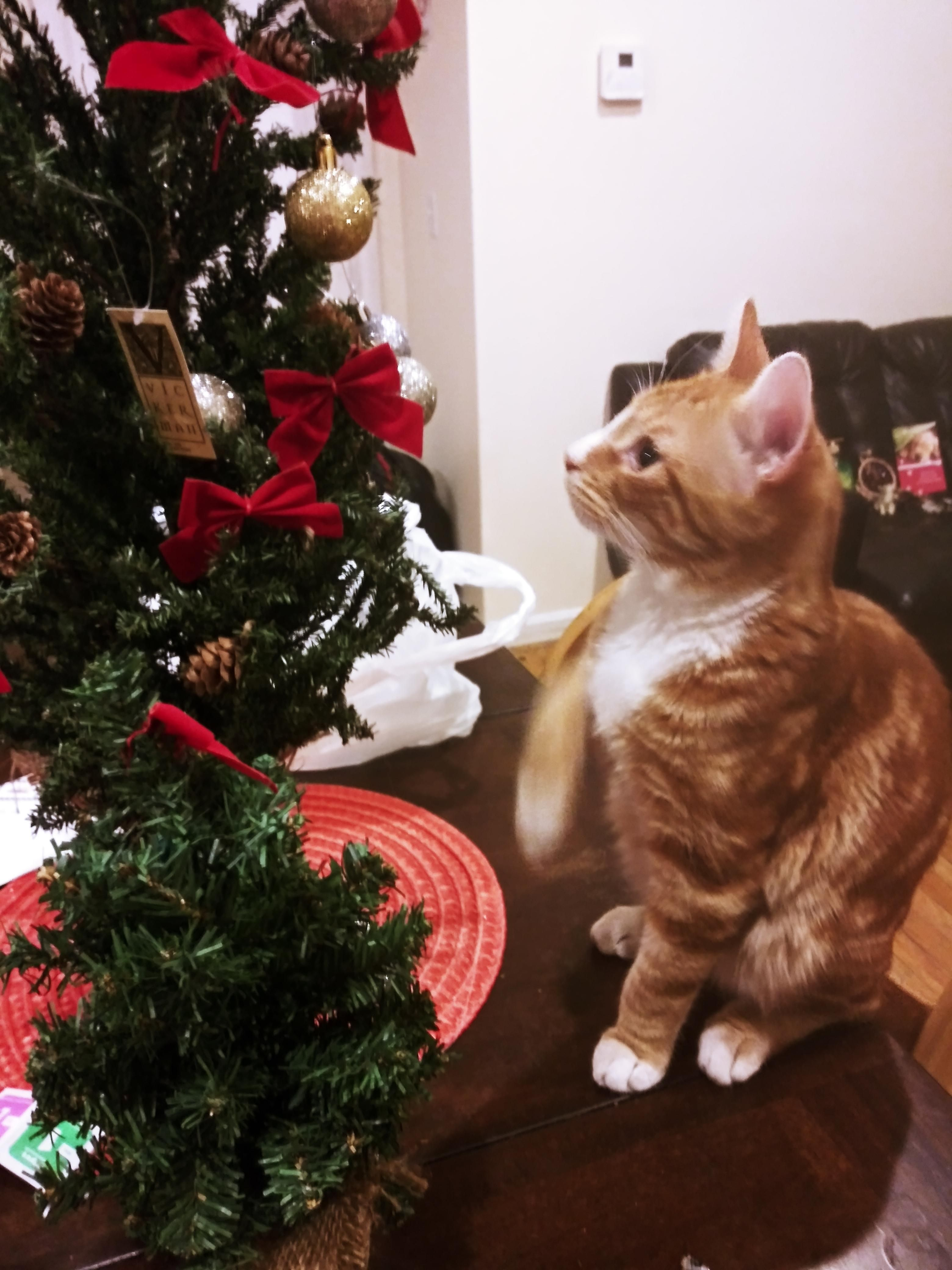 Happy Holidays From My New Kitten I Found 2 Weeks Ago His Family Doesn T Want Him But I Do Christmas Cats Cat Holidays Meowy Christmas