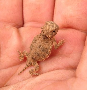 Baby horny toad