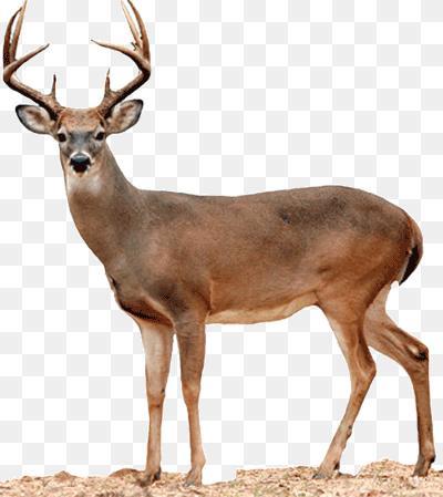 Whitetail Deer Png Free Press Wv 400 449 Png Download Free Transparent Background Whitetail Deer Png Png Download Whitetail Deer Png Deer