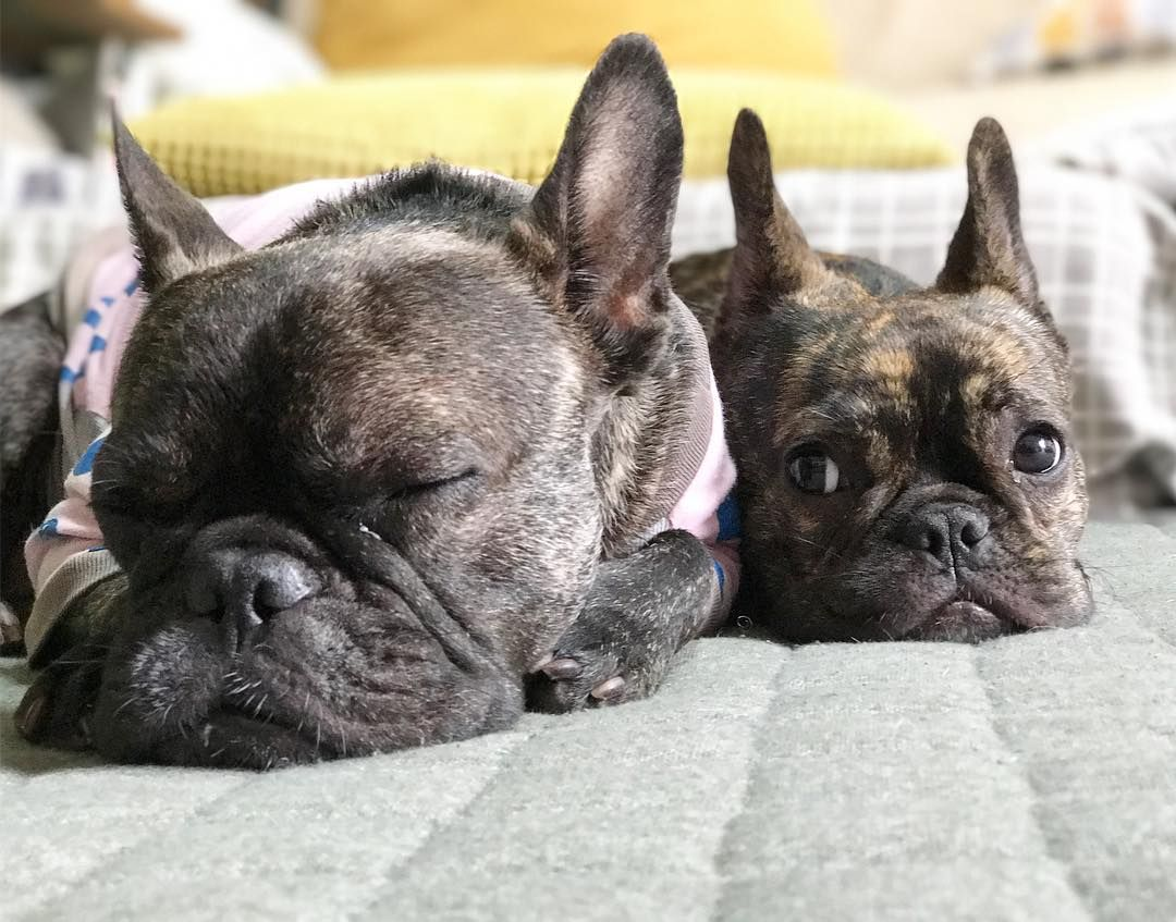 """""""He sure Farts a lot when he's sleeping?"""", Funny French Bulldogs"""