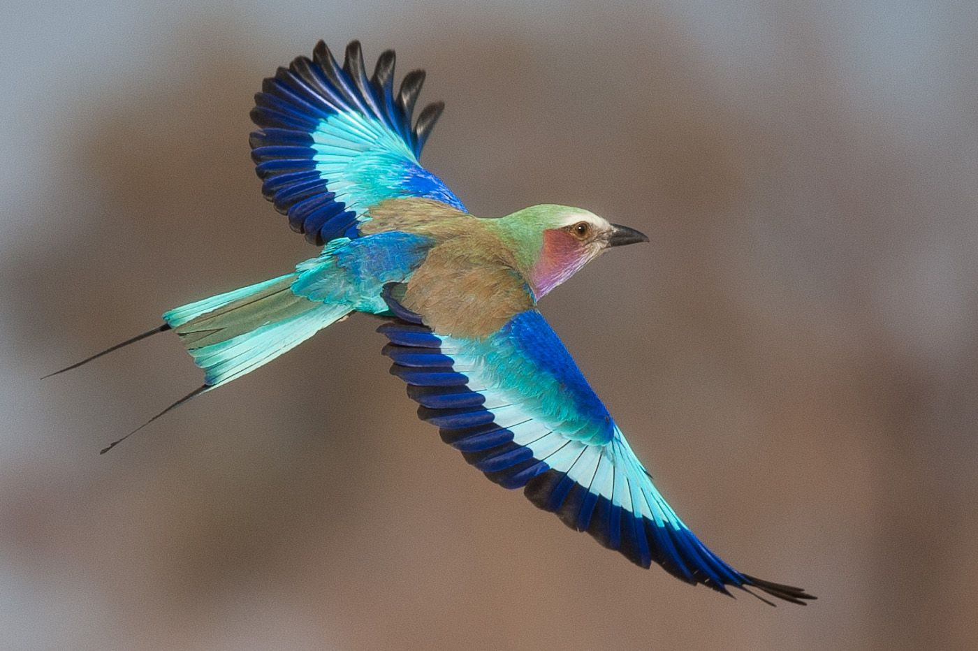 colorful bird in flight - Google Search | birds ...