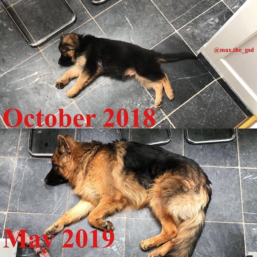 German Shepherd Dog Gsd German Shepherd Pictures German