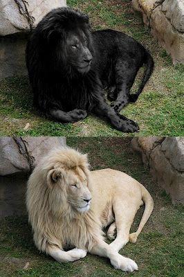 Real White Lion Manipulated To Show It As Black Shukernature Black Lions Manipulation Melanism And Mozaic Black Lion Lion Pictures Black And White Lion