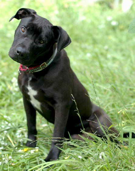 Ben Rocket Dog Rescue Lab Mix Puppies Pitbull Mix Puppies Pitbull Lab Mix