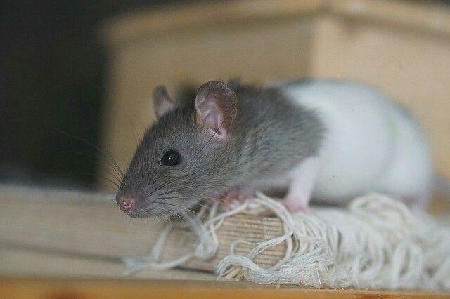 Cute Junge Ratte