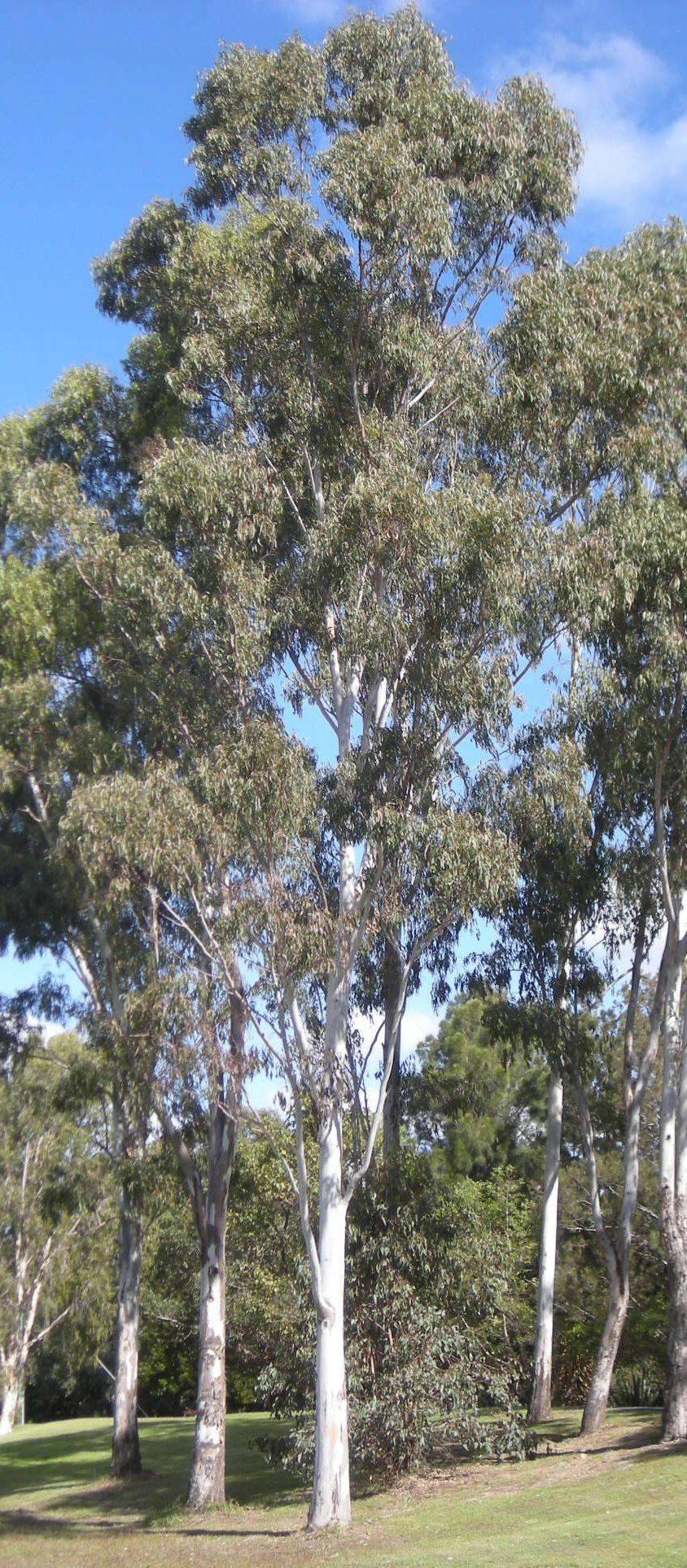 Forest Redgum Eucalyptus Tereticornis Australian Trees