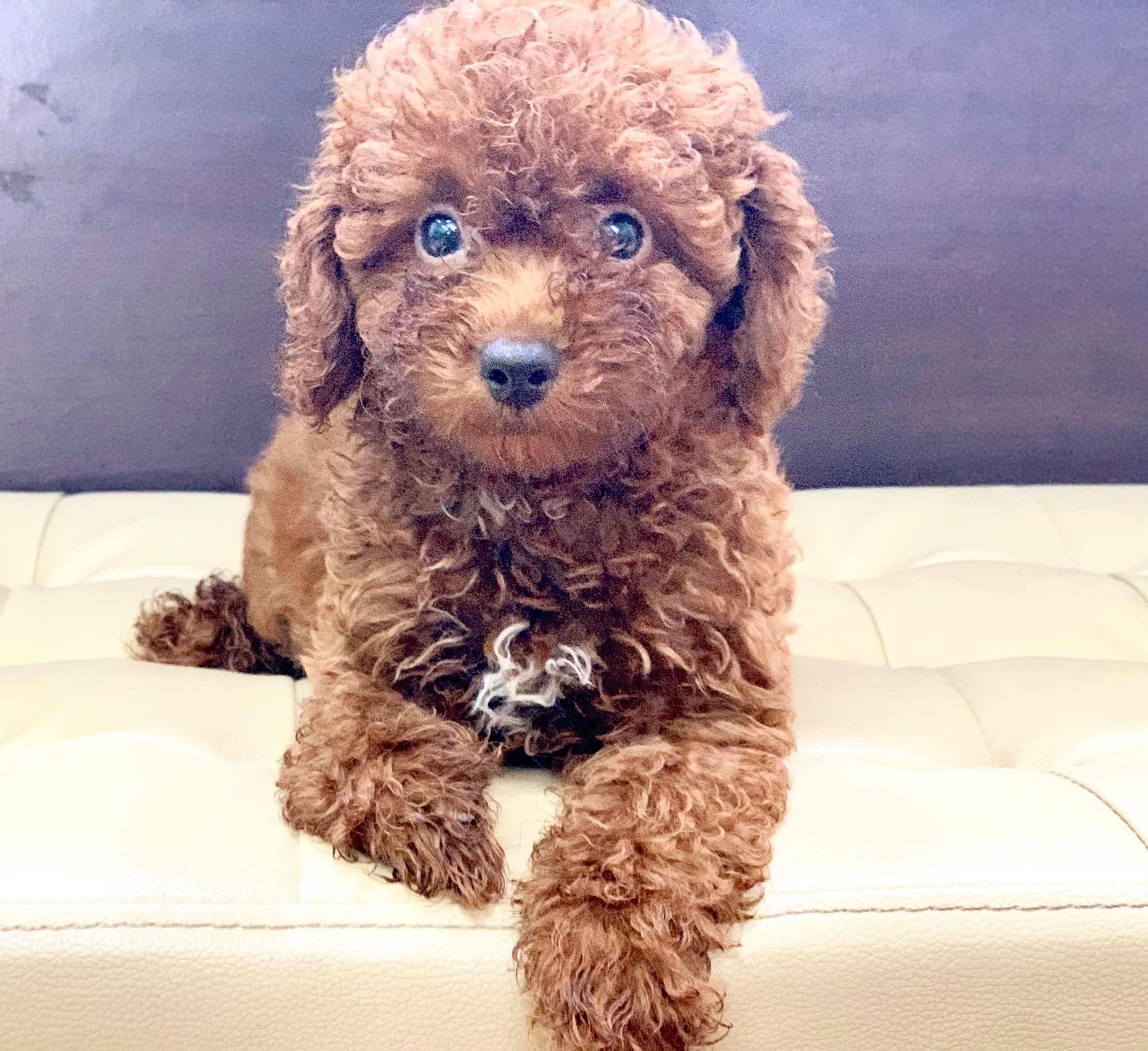 Toy Poodle Puppies For Sale Poodle Puppies Sale Toy In 2020 Poodle Puppies For Sale Poodle Puppy Puppies For Sale