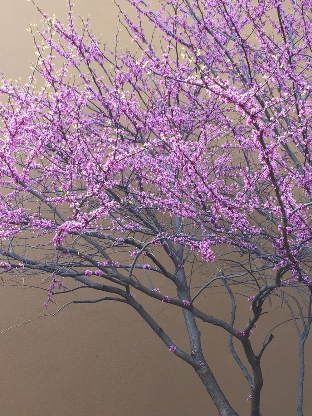 My Favorite State Tree Of Illinois Beautiful Redbud With Its Tiny