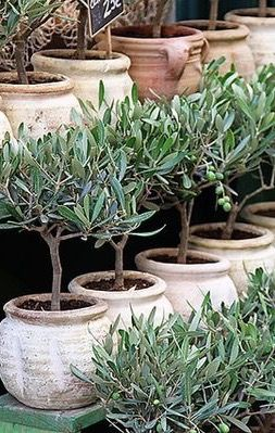 olive trees in terracotta pots yard landscaping pinterest jardins topiaire et potager. Black Bedroom Furniture Sets. Home Design Ideas